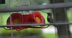 Thinkin' About It (BKHagar *Kim*) Tags: bird window yard fly flying al wings hummingbird drink outdoor alabama flight lawn feeder nectar tanner momsdads bkhagar