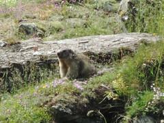 Murmeltier aufmerksam , NGID205795759 (naturgucker.de) Tags: krumltal naturguckerde alpenmurmeltiermarmotamarmota cjanhenrikbertog ngid205795759