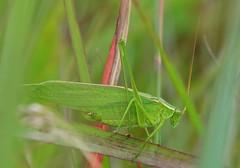 northen bush katydid near Lime Springs IA 854A7209 (lreis_naturalist) Tags: county bush cardinal reis iowa larry marsh northern katydid winneshiek