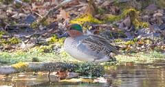 7K8A6977 (rpealit) Tags: scenery wildlife nature east hatchery hackettstown greenwinged teal duck bird