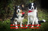 Happy NewYear to all my Flickr chums! (sharongellyroo) Tags: ki dodge bordercollie home garden glemsford