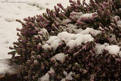 Winter (Natali Antonovich) Tags: winter tervuren belgium belgique belgie nature christmasholidays christmas snow frost