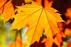 Sonbahar yaprak (autumn leaf) (talipcetin) Tags: sonbahar yaprakları autumn leaves leaf sarı kırmızı kızıl yellow red sky skies tree ağaç dalı bough ankara sincan park harikalar diyarı wonderland doğa nature bitki plant leafage türkiye turkey türkei turkish turquie