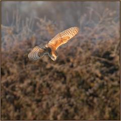 Barn Owl (image 1 of 3) (Full Moon Images) Tags: wildlife nature cambridgeshire fens east anglia bird prey birdofprey barn owl