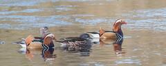 Mandarin Ducks (Tris Enticknap) Tags: uk hampshire nikkor300mmf4epfedvrlens nikond750 freshwaterducks mandarinduck aixgalericulata newforest