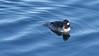 Bufflehead 4 (mausgabe) Tags: olympus em1 olympusm40150mmf28 olympusmc14 nyc centralpark thereservoir bird duck female bufflehead