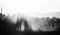 Pouring Light (Padmanabhan Rangarajan) Tags: pushkar india rajasthan cattle rural festival people trading camels