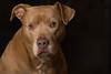 Portrait of our friend's pit bull (JulieAndSteve) Tags: pitbull dog portrait pet nostrobistinfo removedfromstrobistpool seerule2