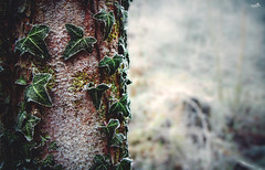 Frosty Forest (VandenBerge Photography) Tags: winter season ivy tree forest dof bokeh hoarfrost rime green nature nationalgeographic lonelyplanet macro ef100mmf28lmacroisusm canon