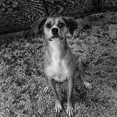 Prudy17Dec1600009-Edit.jpg (fredstrobel) Tags: dogs pawsatanta phototype atlanta blackandwhite usa animals ga pets places pawsdogs decatur georgia unitedstates us