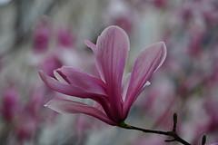 Magnolia blossom , from last Spring (natureloving) Tags: magnolia spring printemps macro march nature fleursenfrance flowersinfrance natureloving nikon d90