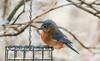 Eastern Bluebird (Gayla J.) Tags: bird missouribirds bluebird easternbluebird
