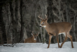 Tale of 2 White Tails