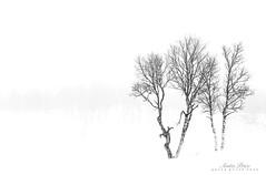 Trees on a foggy day (Anita Price Foto) Tags: highkey white grey black trees fog mist foggy winter snow mountains nature mono monochrome blackandwhite blackwhite minimalism ngc npc