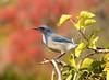 One of our Scrubby Friends (C-O) Tags: dec 01025 arboretum bird california scrubjay scrubby bokeh nature arcadia ca