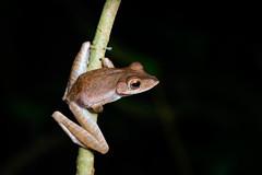 Tree frog (Bryn Tassell) Tags: bako bakonationalpark borneo jungle mala malaysia tropical tree frog