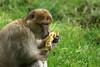 apelike cake - Barbary Macaque - Berberaffe mit Kuchenstück (okrakaro) Tags: apelikecake barbarymacaque berberaffe kuchenstück food animal nature natur zoo rheine juni 2014 germany