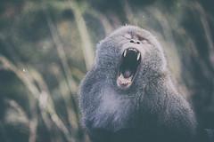 【台灣獼猴】 Macaca cyclopis (Swinhoe, 1863) (Sam's Photography Life) Tags: 猴子 哺乳類 動物 獼猴 塔塔加 野生 台灣 特有種 台灣彌猴 生態 自然 aninal monkey