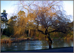 Bare Willow (* RICHARD M (Over 5.5 million views)) Tags: heskethpark southport sefton merseyside january winter scapes water lake parklake birds willow willowtree willows sallows osiers salix salixalbavitellinatristis tree trees barebranches parkland parks publicparks branches nature landscape landscaping