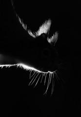 Red squirrel (Mike Mckenzie8) Tags: ciurus vulgaris scotland scottish britain uk highland cairngorm forest pine woods woodland pbark needle rim light black background mammal ear tufts whiskers