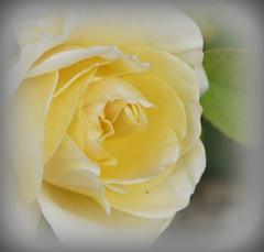 P1130965-004 Lemon cream (hartley_hare7491) Tags: lemon cream