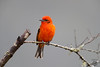 Flashy (Megan Lorenz) Tags: tanager bird avian songbird nature wildlife wild wildanimals cloudforest travel 2016 costarica mlorenz meganlorenz male flamecoloredtanager