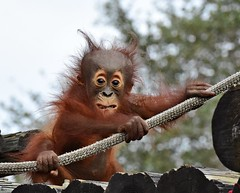 A face only Mom could love (dina j) Tags: florida tampa tampabay zoo lowryparkzoo orangutan babyanimal primate