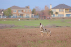 Urban Wildlife (bmse) Tags: coyote bolsachica canon 6d 400mm f56 l bmse salah baazizi wingsinmotion