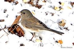 Dark-eyed Junco (--Anne--) Tags: bird birds nature wildlife animals snow winter junco darkeyed