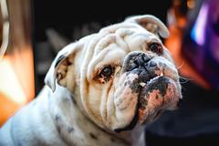 Anglų lietuvių žodynas. Žodis bulldog reiškia n buldogas (šuo) lietuviškai.