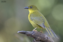 Olive-green Tanager (Orthogonys chloricterus) - Tapiraí-SP