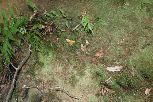 Schizaea rupestris
