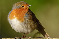 Robin (lee adcock) Tags: tamron150600 wildlife bird clumberpark nature nikond7200 red robin
