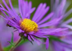 Wild Aster (imageClear) Tags: color beauty purple nature aperture nikon d500 105mm imageclear flickr photostream