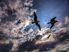 Seagulls (`ARroWCoLT) Tags: sky seagull seagulls martı martılar bluesky clouds cloud bulut nokia lumia1020 pureview cellphonephotography mobiography flying cameraphone