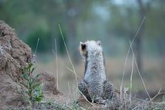 My beauty side (Robert Styppa) Tags: southafrica cub cheetah südafrika gepard nachwuchs sabisands nikon70200 animalsafrica gepardin nikond610