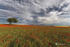 Solitario en el campo . (PITUSA 2) Tags: arbol paisaje cielo nubes campo burgos solitario castillayleón amapolas sasamón pitusa2 elsabustomagdalena