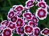 Sweet William (BriarCraft) Tags: pink flowers sweetwilliam day158 dianthusbarbatus day158365 365the2015edition 3652015 7jun15