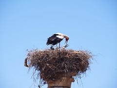P5261356 (lnewman333) Tags: africa bird ancient northafrica historic worldheritagesite morocco fez maroc maghreb column stork fes nesting volubilis romanruins unescosite 1stcenturyad