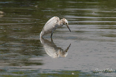Juvenile Snowy Egret goes fishing