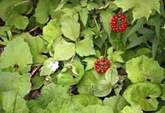 Red Baneberry (DianesDigitals) Tags: baneberry redbaneberry actaearubra dianesdigitals
