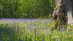 Early Purple Orchid amongst Bluebells, Glendurgan Garden (Mike Prince) Tags: england cornwall orchids meadows orchidaceae bluebell earlypurpleorchid orchismascula plantsandflowers hyacinthoidesnonscripta glendurgangarden natureandenvironment