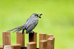 IQ7A2707 (cj13822) Tags: lake bird canon fence pond mark birding ii snack 7d catbird 70200mm
