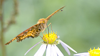 Silver Washed Fritillary Butterfly's Feeding over the Flora