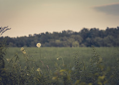 View Out Back (Watermarq Design) Tags: field grass dof wildflowers muted