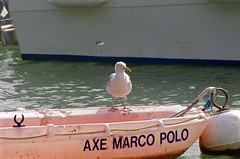 Pornic (Loire-Atlantique) (sybarite48) Tags: france bird gull pssaro mwe gaviota oiseau meeuw gabbiano vogel gaivota pjaro uccello  ku ptak goland pornic mart zeemeeuw  loireatlantique mewa
