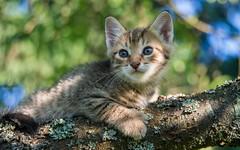 junior (07) (Vlado Ferenčić) Tags: cats animals cat kitty croatia junior catsdogs hrvatska hrvatskozagorje zagorje nikond600 nikkor2485284 thebestofnikon
