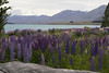 Over the Wood (Maree A Reveley Photography) Tags: laketekapo lupin lupins mackenzie canterburynz nz newzealand canterbury laketekaponz mackenzienz mareeareveleyphotography mareeareveley