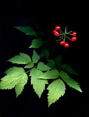 56766.01 Actaea rubra (horticultural art) Tags: botanical berries wildflower baneberry actaearubra actaea horticulturalart