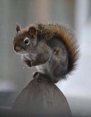 Patches The Red Squirrel (DaPuglet) Tags: squirrel redsquirrel canada wildlife nature animals mange winter red fur missing snow mammal squirrels ontario animal